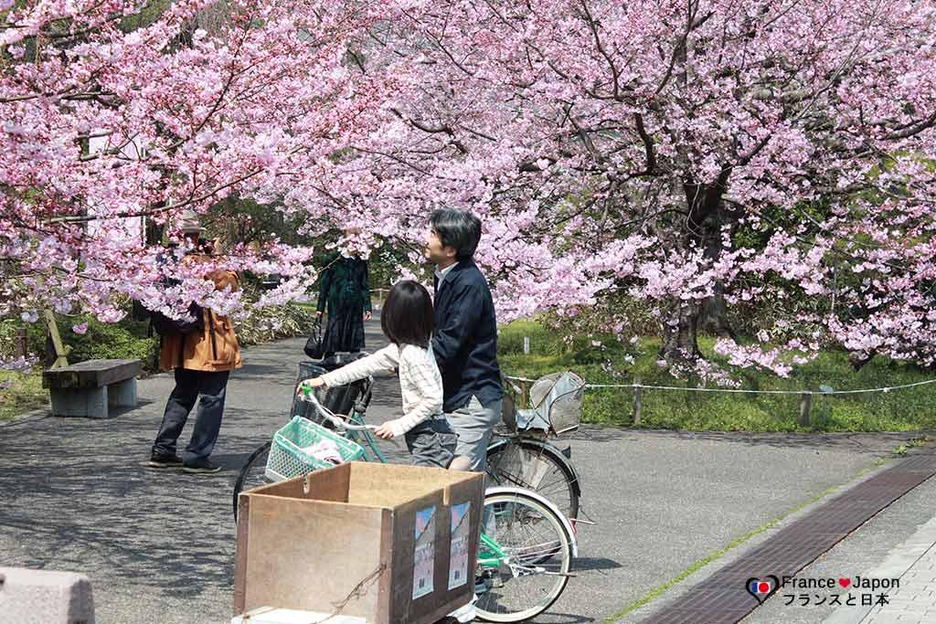 voyage japon hanami sakura cerisier du japon